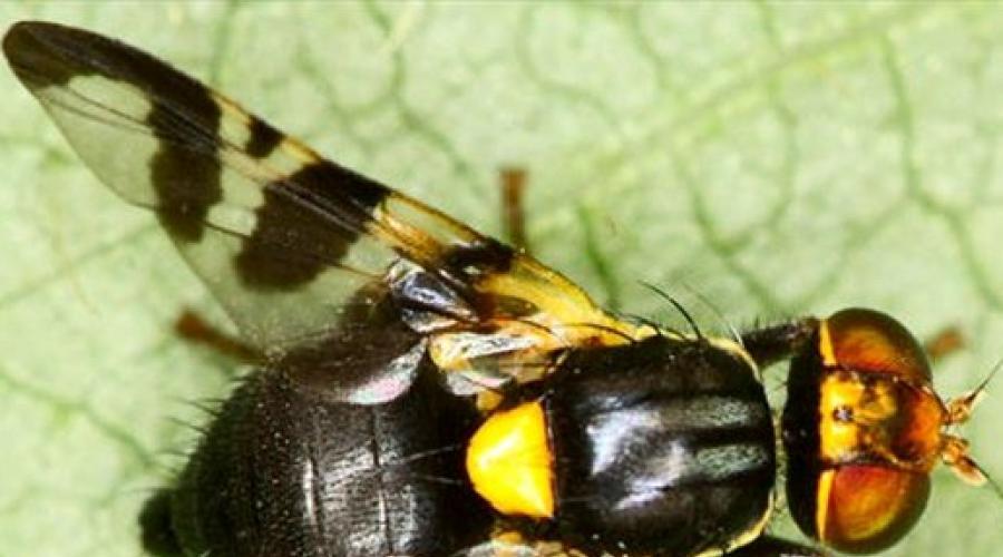 Černé mravenci sexuální pilulky